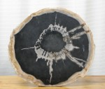 "CC312-41, Petrified Wood-with Bark Multicolor Cross Cut, 15 1/2"" Diameter, Pricing & Availability Upon Request"
